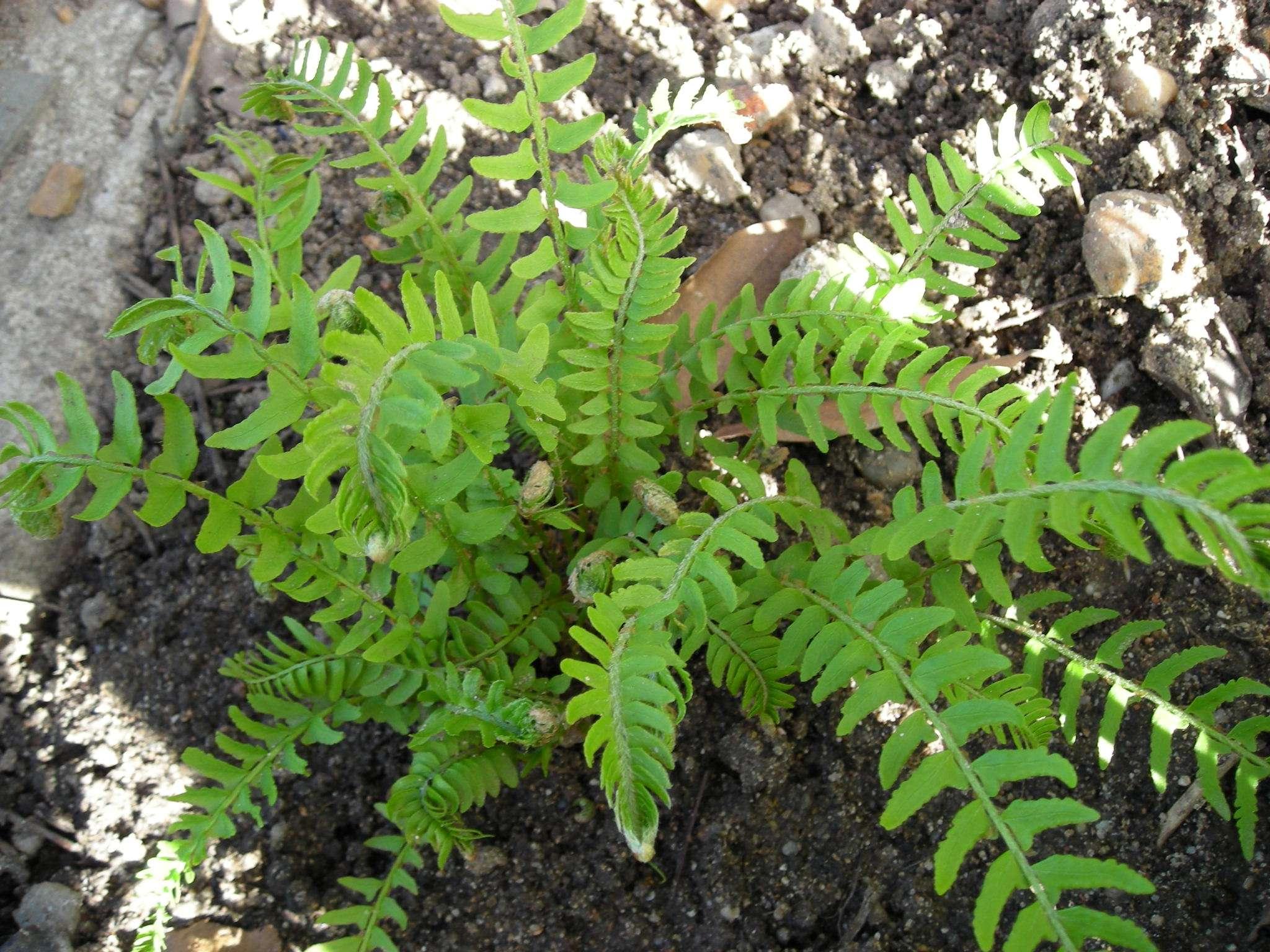 Woodsia polystichoïdes